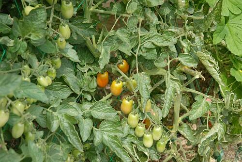 tomato002